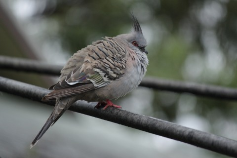 Crested_Pigeon_on_washing_line.jpeg