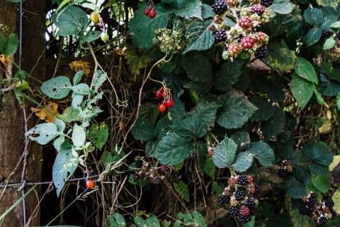 Poisonous-woody-nghtshade-and-blackberries-in-hedgerow.jpeg