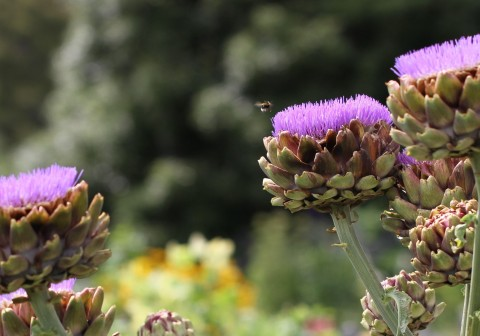 bumble-bee-hovering-over-artichokes.jpg