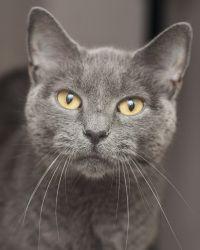 5e7072ec2f99aebc09b754e2a07ba050--grey-cats-blue-cats