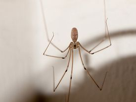 scary_spider_long_legs_thin_dangling_in_house_cg1p92431896c_th