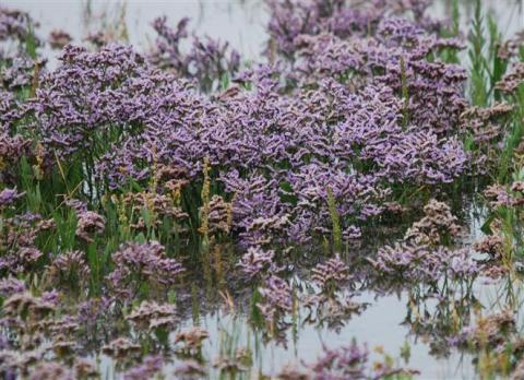 Sea-Lavender%2c-Liz-Dack%2c-Titchwell%2c-2-August-2011-(Small).JPG