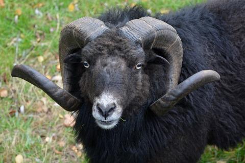 sheep-1034149_960_720