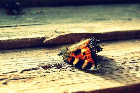 dead-butterfly