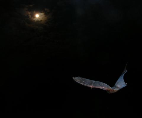 Goulds_wattled_bat_in_moonlight_resized