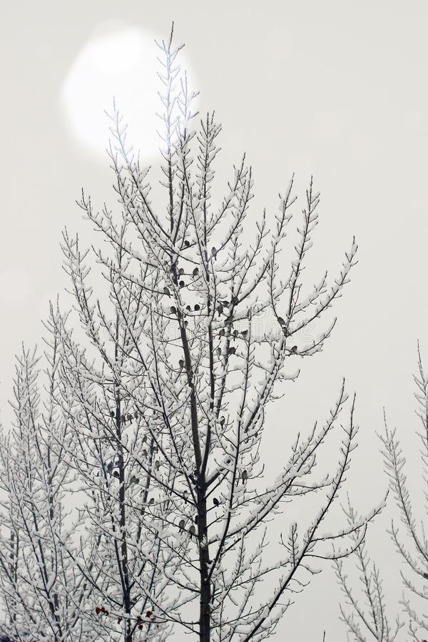 snow-sparrows-tree-poplar-51430525