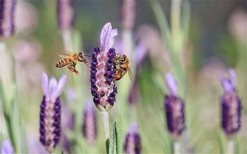 bees-on-lavender_1794063b