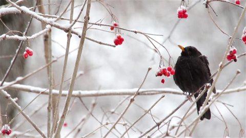 blackbird snow