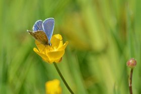 Common-blue-butterfly-on-buttercup-Strumpshaw-Fen-Elizabeth-Dack-26-May-2015-(Small)