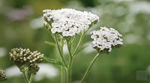 images yarrow